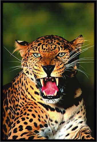 Leopard Roar Framed Canvas Art